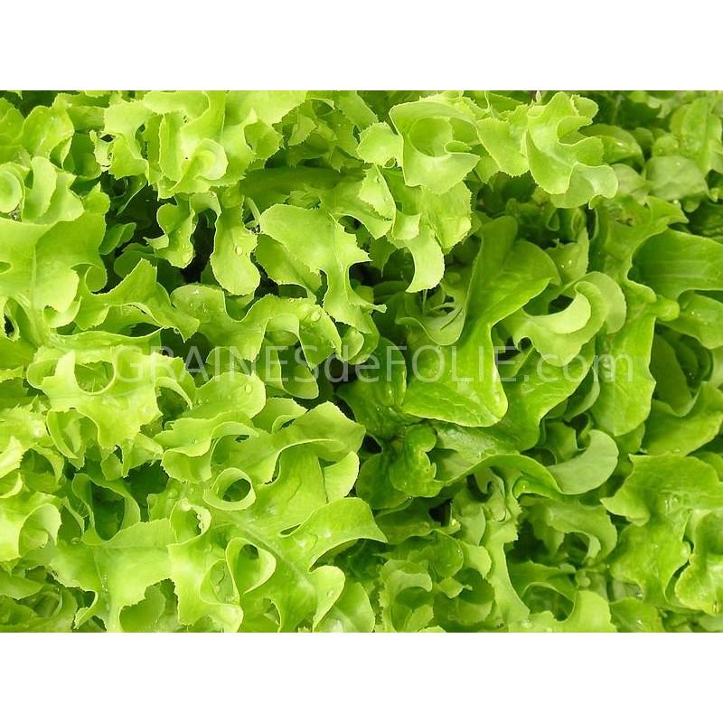 graines de laitue green salad bowl sur. Black Bedroom Furniture Sets. Home Design Ideas