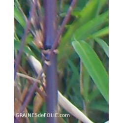 Bambou Fargésia sp. NOIR - Non traçants - résiste à -23°c