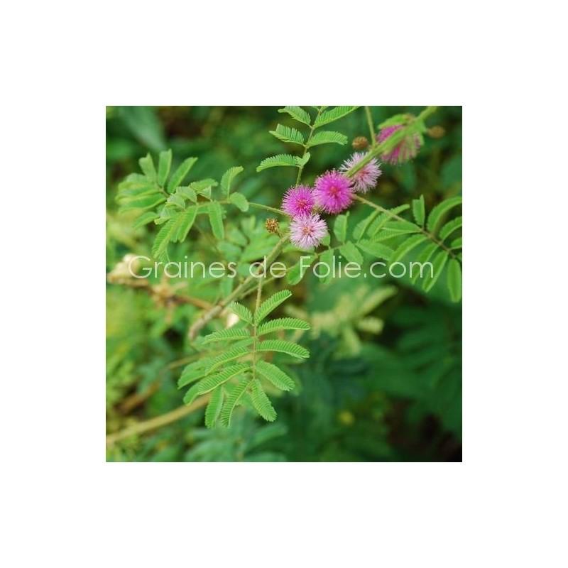 Vente de graines de Plante SENSITIVE - Mimosa pudica sur GRAINESdeFOLIE.com