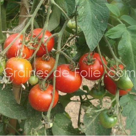 Tomate PRECOCE de QUIMPER