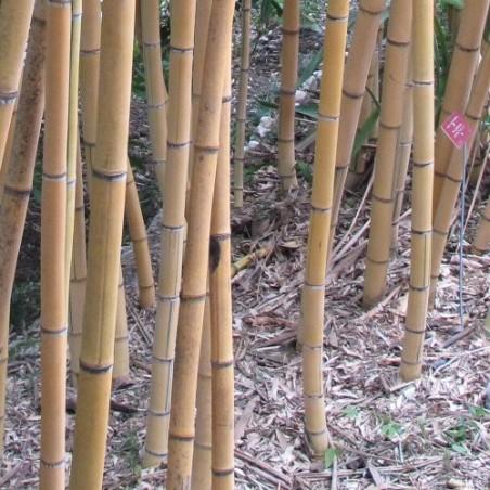 Bambou Phyllostachys viridis sulfurea
