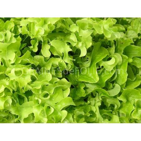 «GREEN SALAD BOWL» Laitue à couper