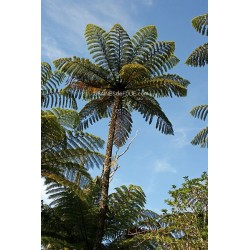 Fougères Arborescentes «Cyathea Medullaris»