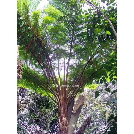 Fougères Arborescentes «Cyathea Brownii»