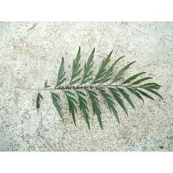 Chêne SOYEUX d' Australie