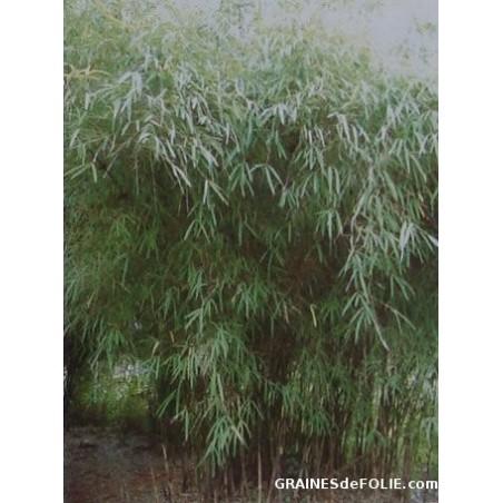 Bambou «Fargesia Yunnanensis»