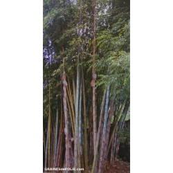 Bambou Géant de BIRMANIE