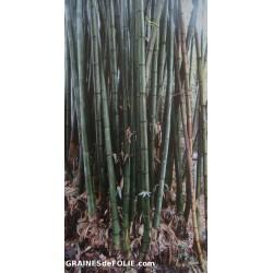 Bambou Géant Mâle