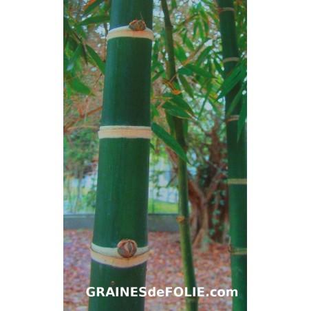 Bambou Géant EPINEUX