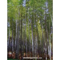 Bambou Géant MOSO