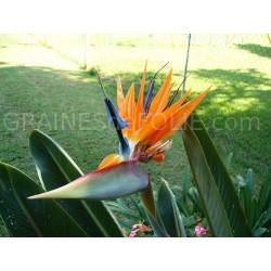 Oiseau de PARADIS Orange et Bleu