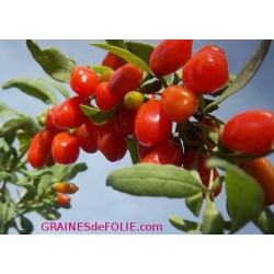 Graines de GOJI - Lycium Barbarum seeds