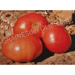 « GREGORI ALTAÏ» Tomate