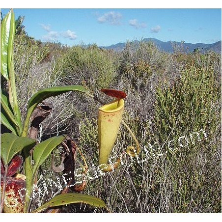 Plante Carnivore - Nepenthes madagascariensis