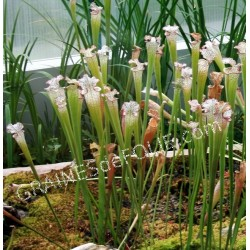 Plante Carnivore - Sarracenia leucophylla