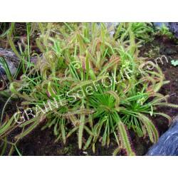 Plante Carnivore - Drosera capensis