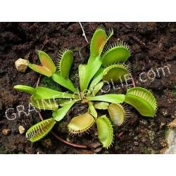 Dionée Attrape mouche - Dionaea muscipula