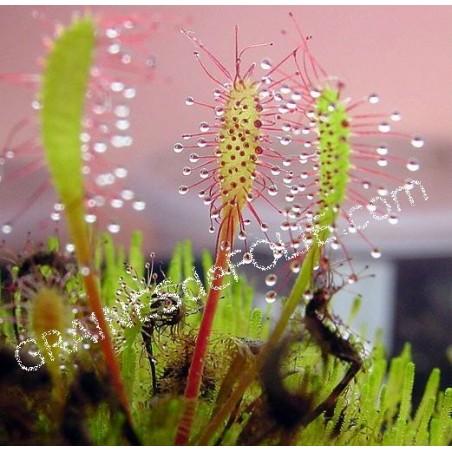 Plante Carnivore - Drosera anglica