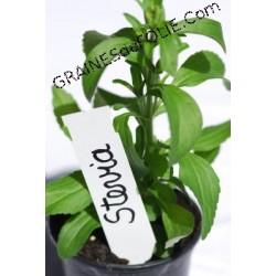 STEVIA - Plante à Sucre