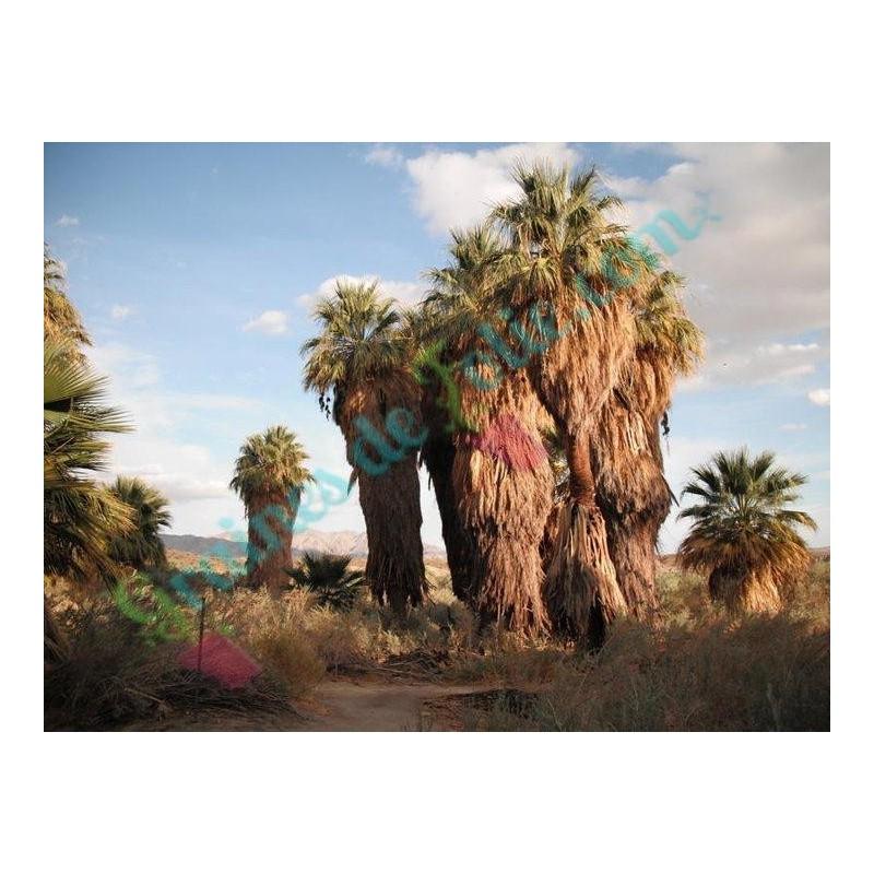 vente de graines de palmier de californie washingtonia filifera sur. Black Bedroom Furniture Sets. Home Design Ideas