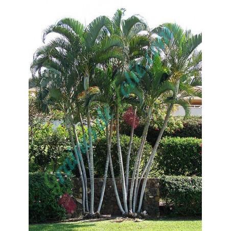 Palmier d' AREC dypsis lutescens
