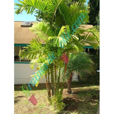 Palmier de MAC ARTHUR Ptychosperma macarthurii