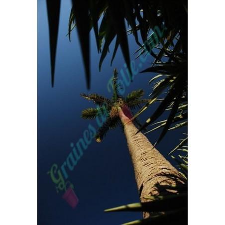 Palmier de CARPENTARIE Carpentaria acuminata