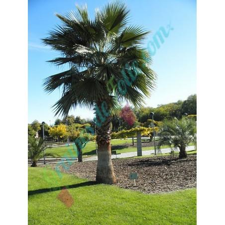 Palmier du MEXIQUE Washingtonia robusta