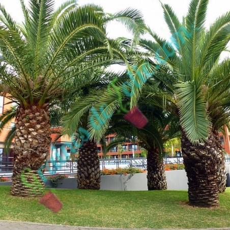 Palmier des CANARIES phoenix canariensis