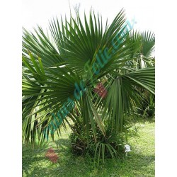 Palmetto NAIN Sabal minor