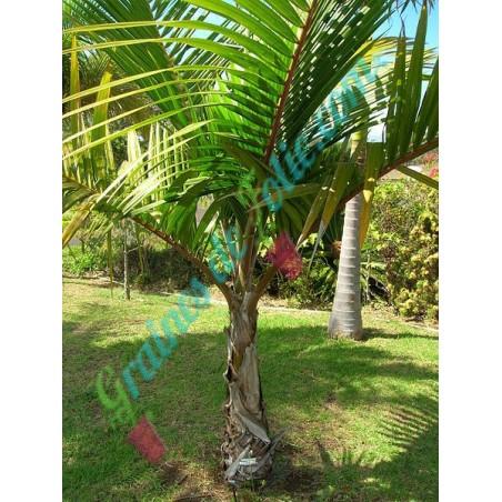 Palmiste BLANC Dictyosperma album