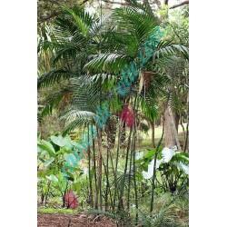 Palmier BAMBOU Chamaedorea costaricana