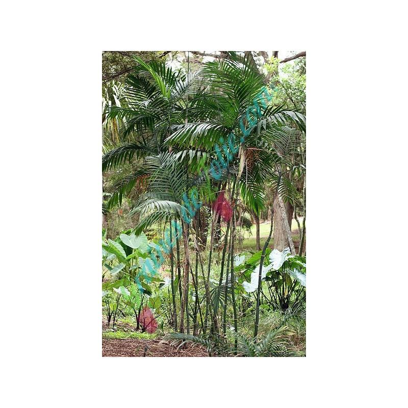 vente de graines de palmier bambou chamaedorea costaricana sur. Black Bedroom Furniture Sets. Home Design Ideas