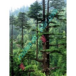 Cèdre de l' Himalaya Cedrus deodara