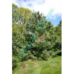 Pin pleureur de l' Himalaya Pinus wallichiana