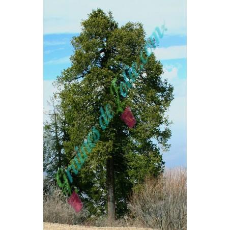Sapin de l'ouest de l'Himalaya Abies pindrow