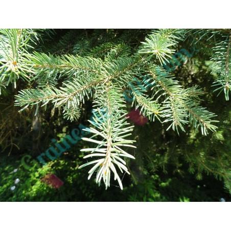Sapin Picea asperata