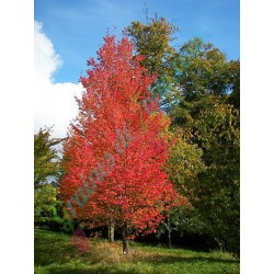 Erable Rouge acer rubrum