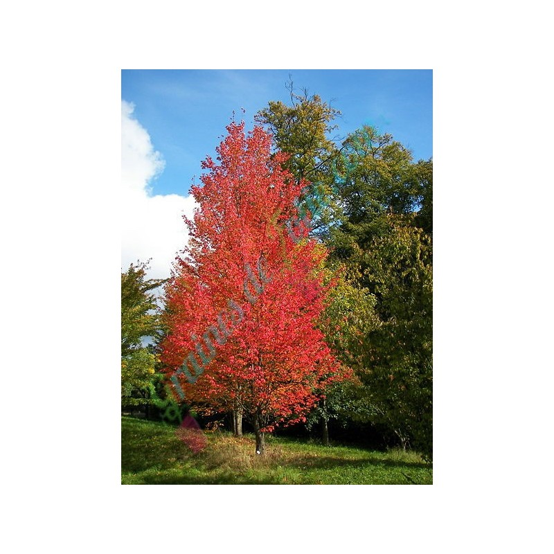 Vente de graines d 39 erable rouge du japon acer rubrum sur - Erable rouge du japon ...