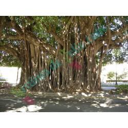 Figuier des BANYANS Ficus Benghalensis