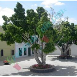 Figuier PLEUREUR  Ficus benjamina