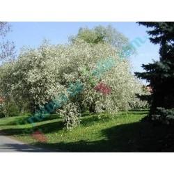 Cerisier de Sainte Lucie Prunus mahaleb