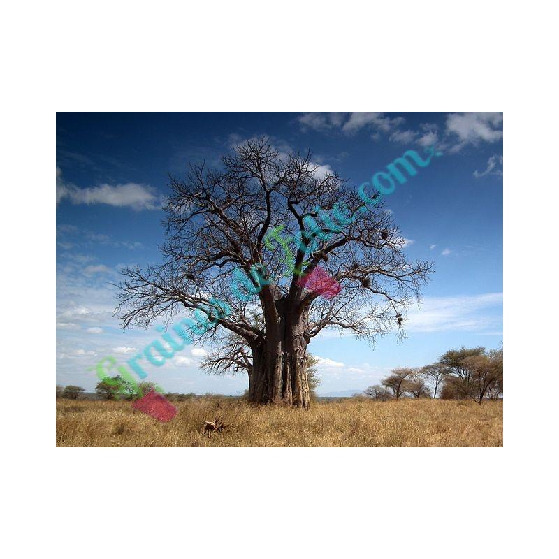 vente de graines de baobab africain adansonia digitata. Black Bedroom Furniture Sets. Home Design Ideas