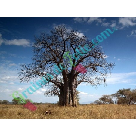 BAOBAB Africain adansonia digitata