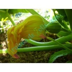 Courge GLANDROI de la TABLE - Fleur