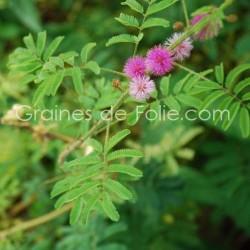Plante SENSITIVE