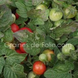 Tomate ROBIN