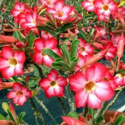 Rose du Désert PINK