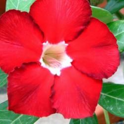 Rose du Désert ROYAL RUBY