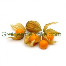 Physalis Little Lantern